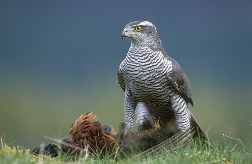 AN AWESOME BIRD THE GOSHAWK