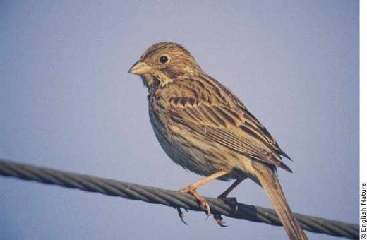 THE INCONSPICUOUS CORN BUNTING