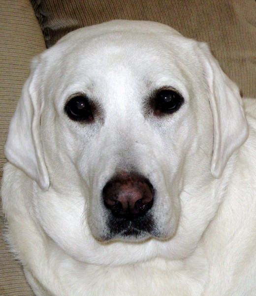 """White"" Yellow Labrador"
