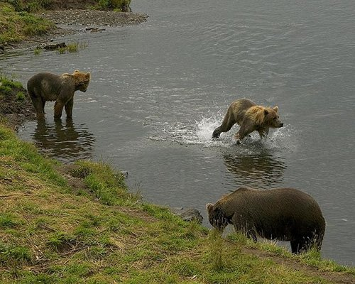 Kodiak Bears looking for salmon