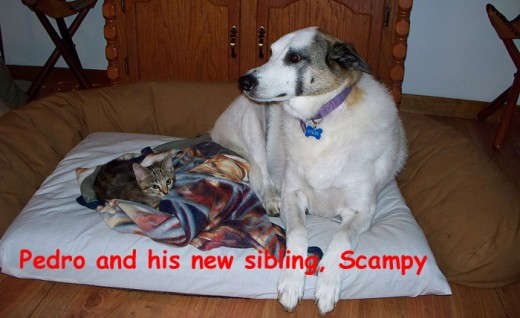 Now he shares it with almost 4-month-old kitten, Scampy