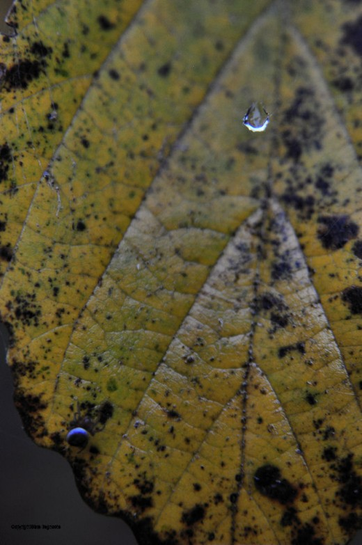 A drop of water is suspended above a witch-hazel leaf while in the lower corner a spider sits.