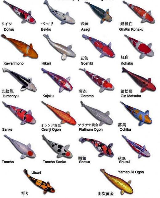 Koi Variety