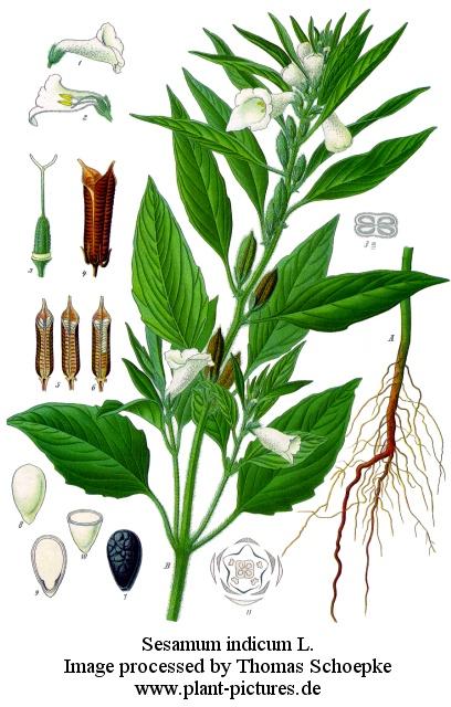 Sesame plant