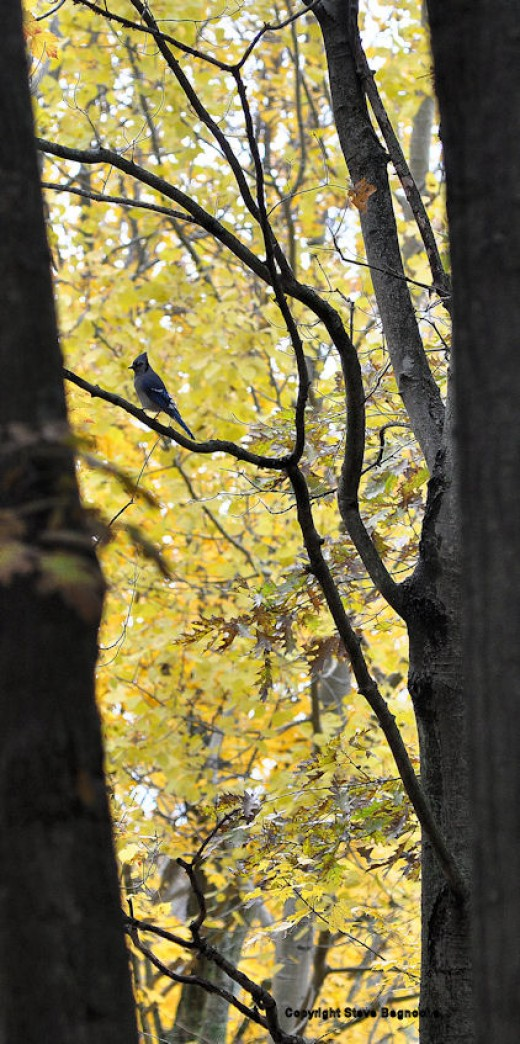 A blue jay scans the yard from a dead branch in an oak tree. Yellow leaves of maple provide color.