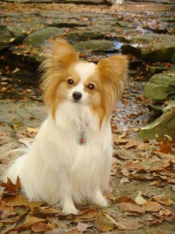 A Papillion breed canine.(Photos this page public domain.)