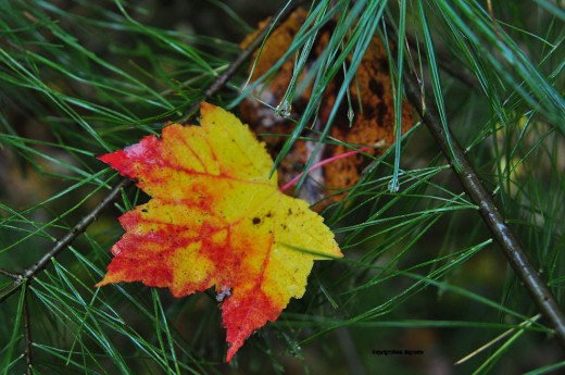 A maple leaf is caught in the branches of a white pine.