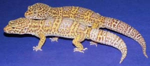 Leopard Gecko Morphs and Genetics | hubpages