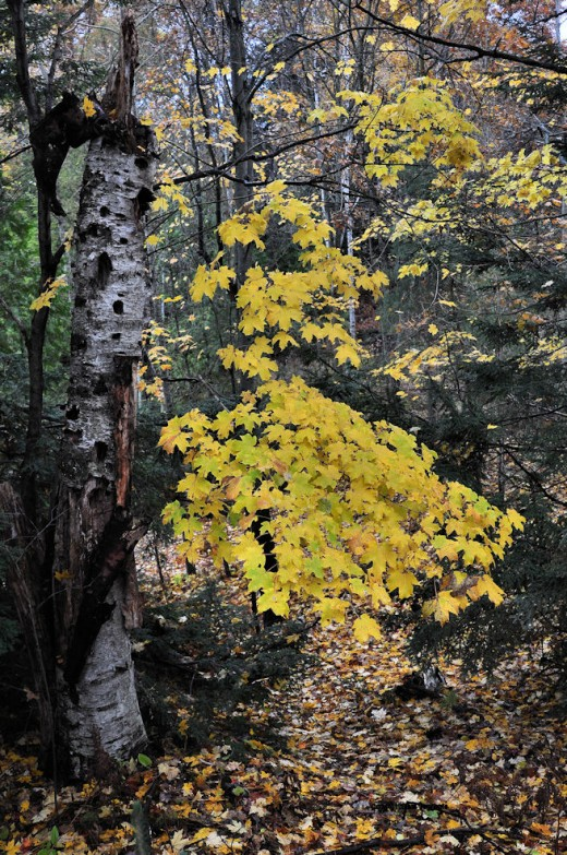 A maple branch bearing yellow leaves adds of a splotch of brightness to a woods path.
