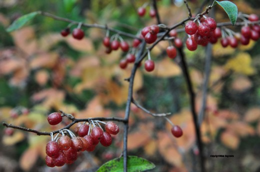 Autumn olive berries are red against the fall foliagae