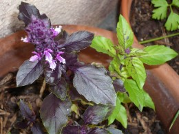 There are over 160 varieties of basil worldwide
