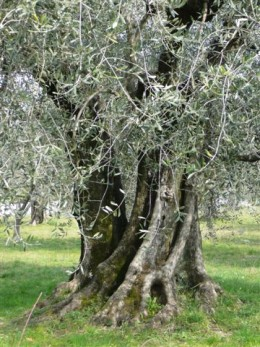 In Greece, an emblem of wisdom, abundance and peace