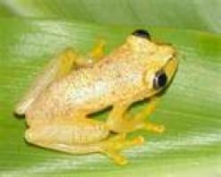 Cameleon frog
