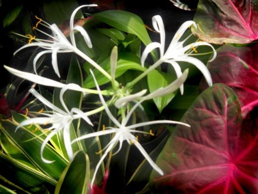 White Lilies Copyright RE Kongaika