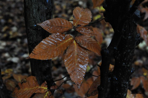 The dark leaves of a changed beech glisten in the moisture of a steady drizzle