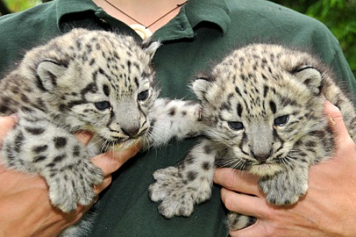 Snow leopard cubs.