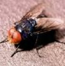 Adult Screwworm Fly.  Note red eyes.    panama-guide.com