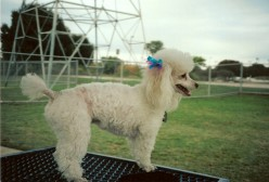 Why I Love the Toy Poodle