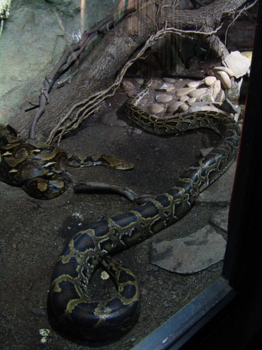 Reticulated python image courtesy of Wikimedia Commons