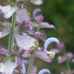 Clary Sage Essential Oils Properties and Benefits