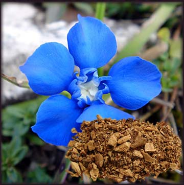 Gentian Root. A healing herb that removes parasites from the body.
