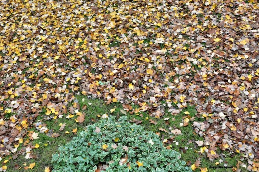 To find the rest of the grass, a lot more leaves will have to be removed.