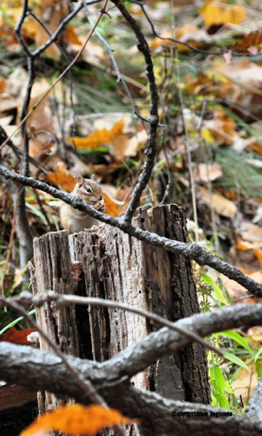 A chipmunk chomps down an acorn on a stump in the woods.