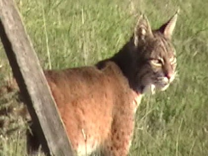 The Bobcat in the meadow