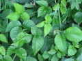 Easing The Poison Ivy or Poison Oak Itch