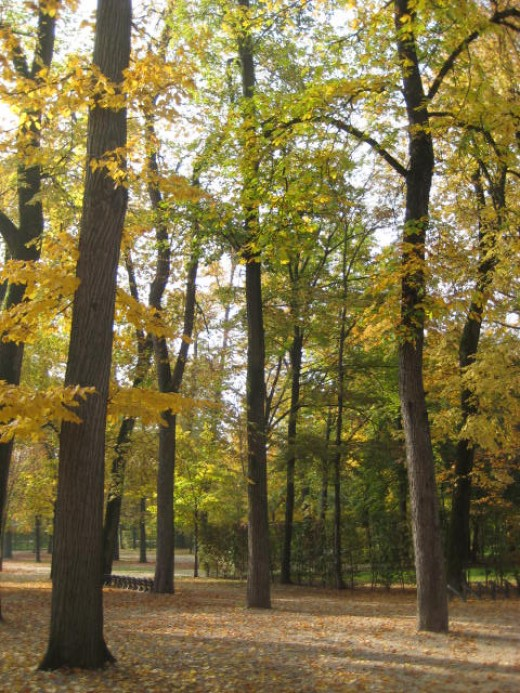the autumn leaves of some trees turn shades of gold and yellow.