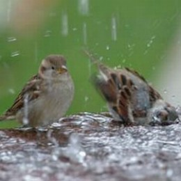 House sparrows in the garden having a bath