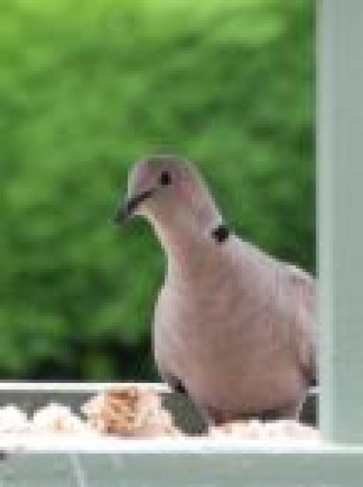 This collared dove dropping into the garden for lunch