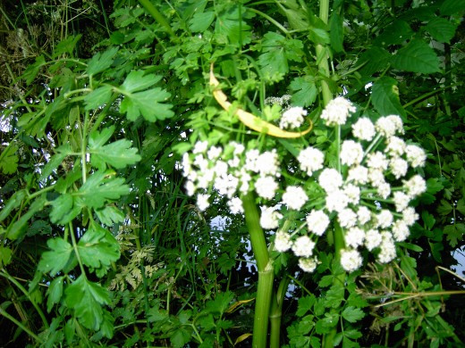 Hemlock water dropwort has caused many fatalities when eaten by mistake for Wild Celery