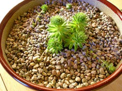 Growing Cacti and Succulents as Houseplants