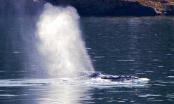 Humpback Whale Behaviors