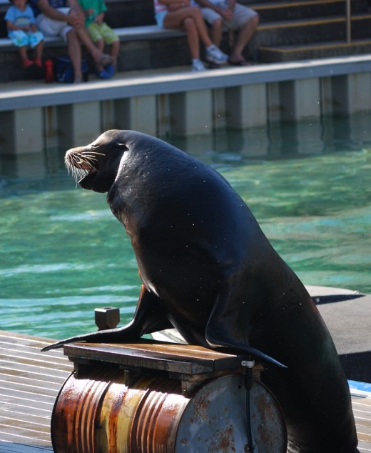 The stars at Sea World - sea lion