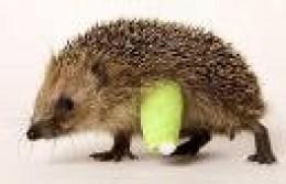 Hedgehog with broken leg.    st clair photo