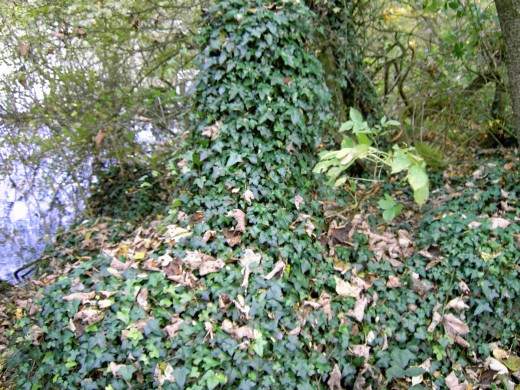 IVY SOON CLADS FALLEN LOGS AND TREE STUMPS