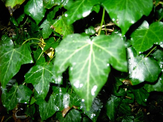 THE TYPICAL LEAF SHAPE OF IVY