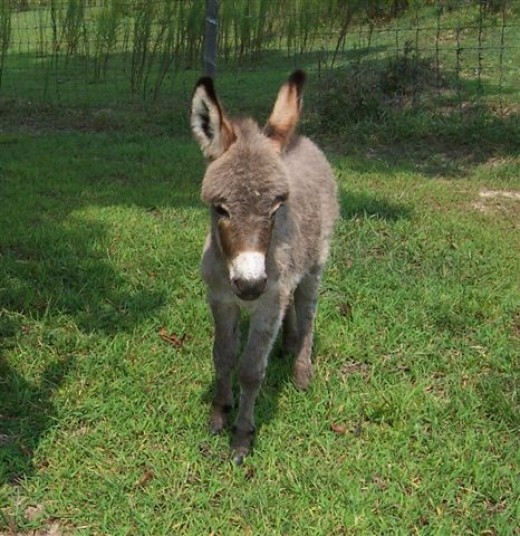 Miniature donkeys can also contribute. Photo credit Google Images.