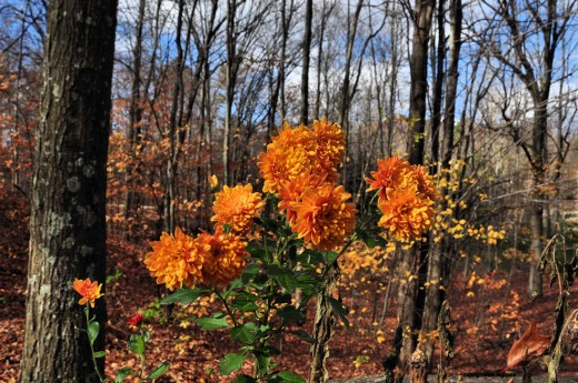 Mums flash orange and a bit of red against a woods mostly barren of leaves.