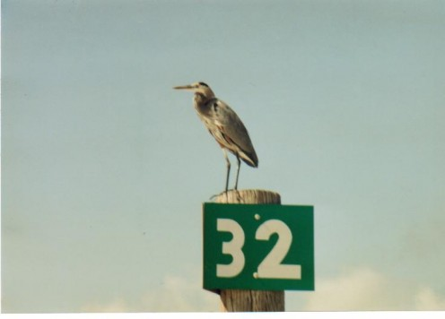 Heron perched on a beach marker.