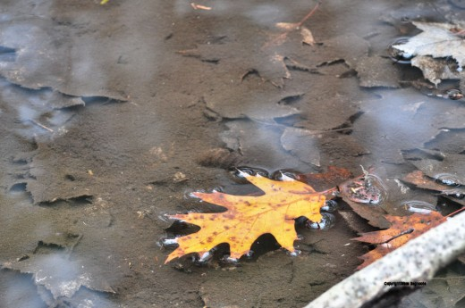 Oak leaves now float down the creek. The maple leaves that fell earlier are already covered by silt.