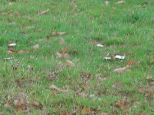 There are so many wild mushrooms growing in the sheep fields above LTC