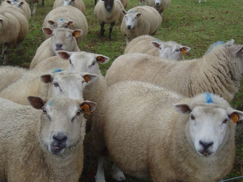 And here are the sheep! Always take care when gathering mushrooms from sheep fields.