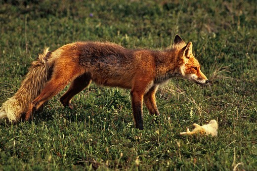 red fox with rabbit its favourite prey..public domain