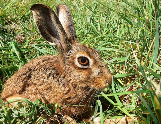 THIS BEAUTIFUL MAMMAL HAS BEEN SAVED FROM THE THREAT OF LEGAL HARE COURSING. --- PUBLIC DOMAIN