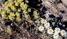 The white daisy like flowers are called DESERT STAR