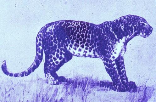 Leopard - Art by ~ Jerilee Wei