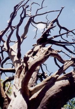 Uplifted branches of a tree skeleton towards a blue sky